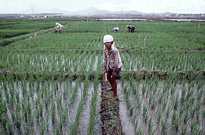 New rice development in the Philippines